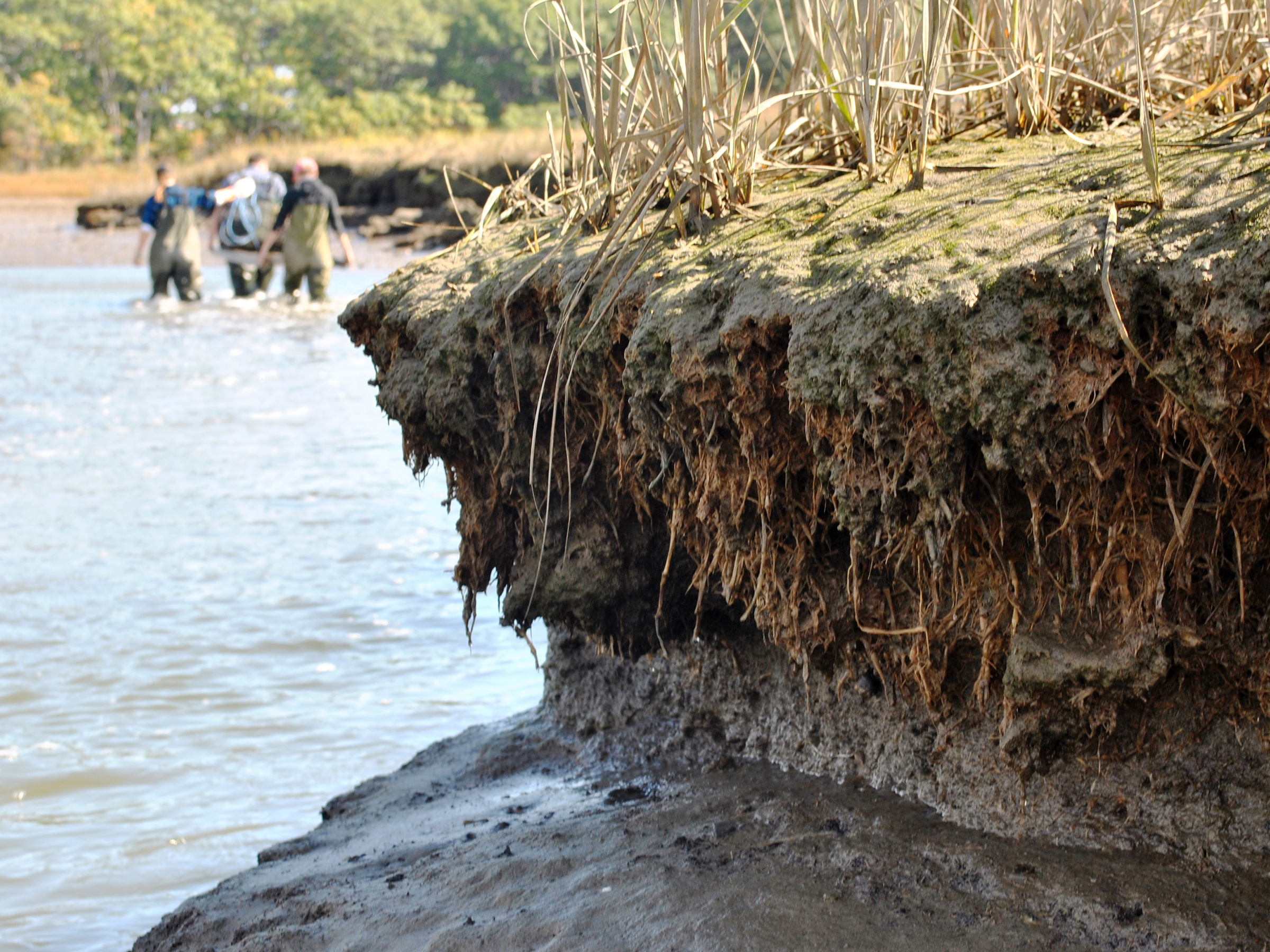 Green Crabs Damaging Maine Salt Marshes – Wells Reserve