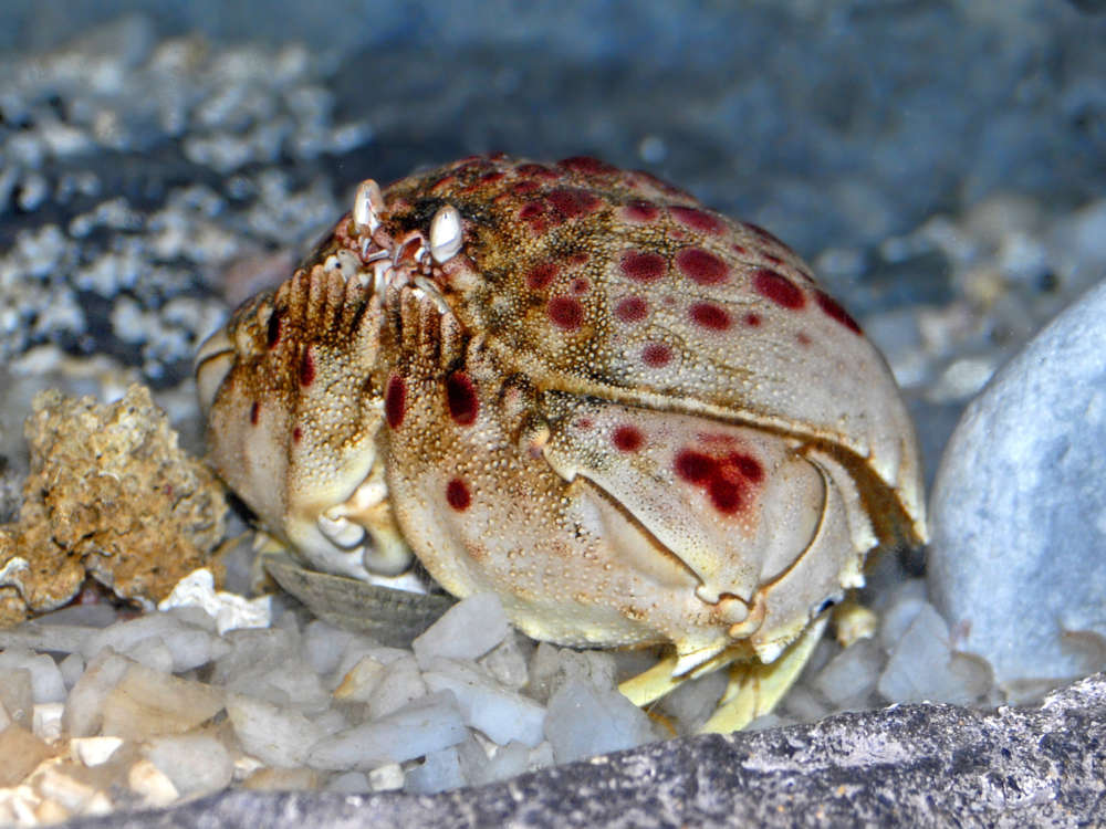 A live box crab (Calappa calappa) at the Aquarium of Genoa. Photograph by Hectonichus via Wikimedia Commons, CC BY-SA 3.0.