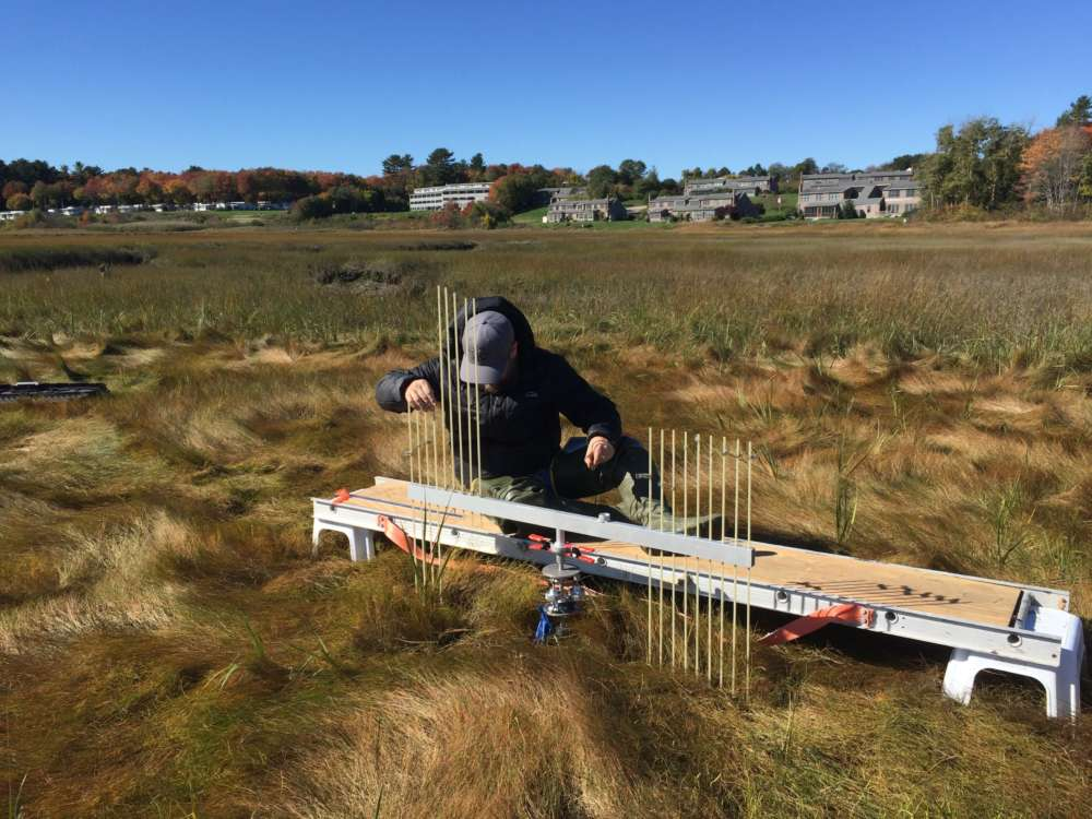 Researcher Jacob Aman measures surface elevation in the Webhannet River salt marsh. Photo by Sue Bickford.