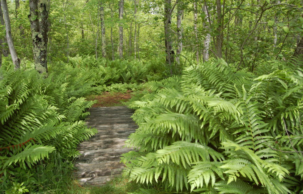 Ferns And Boardwalk
