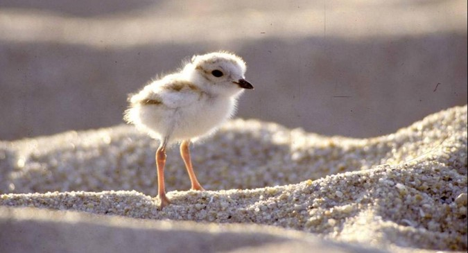 Piping plover chick photo. © National Park Service