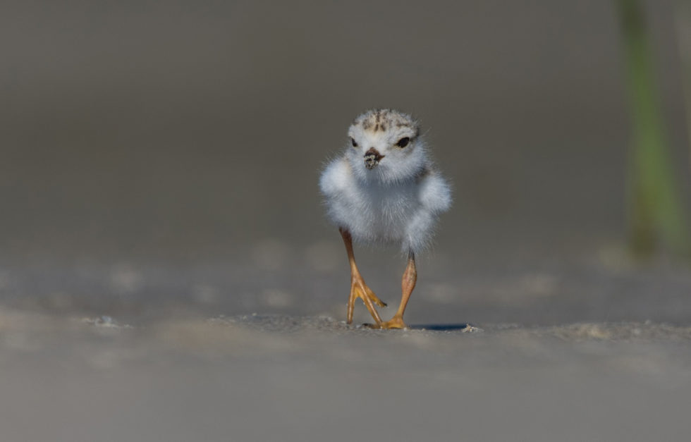 Piping Plover Chick 35076135454