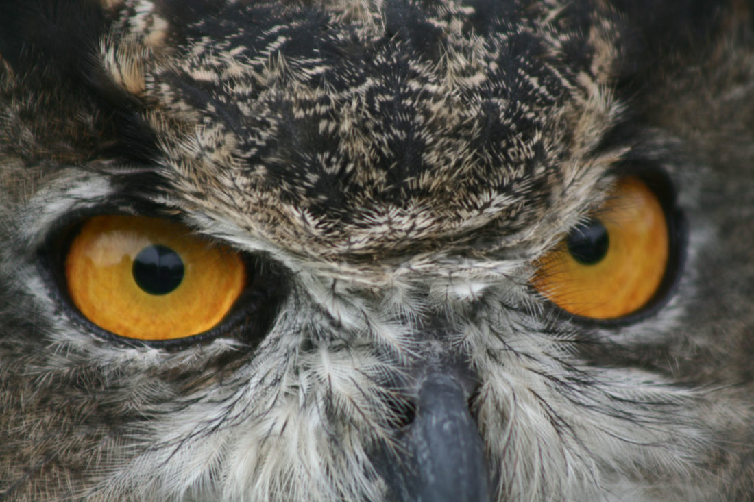 Susan Rachlin Usfws Public Domain Great Horned Owl 6293628118