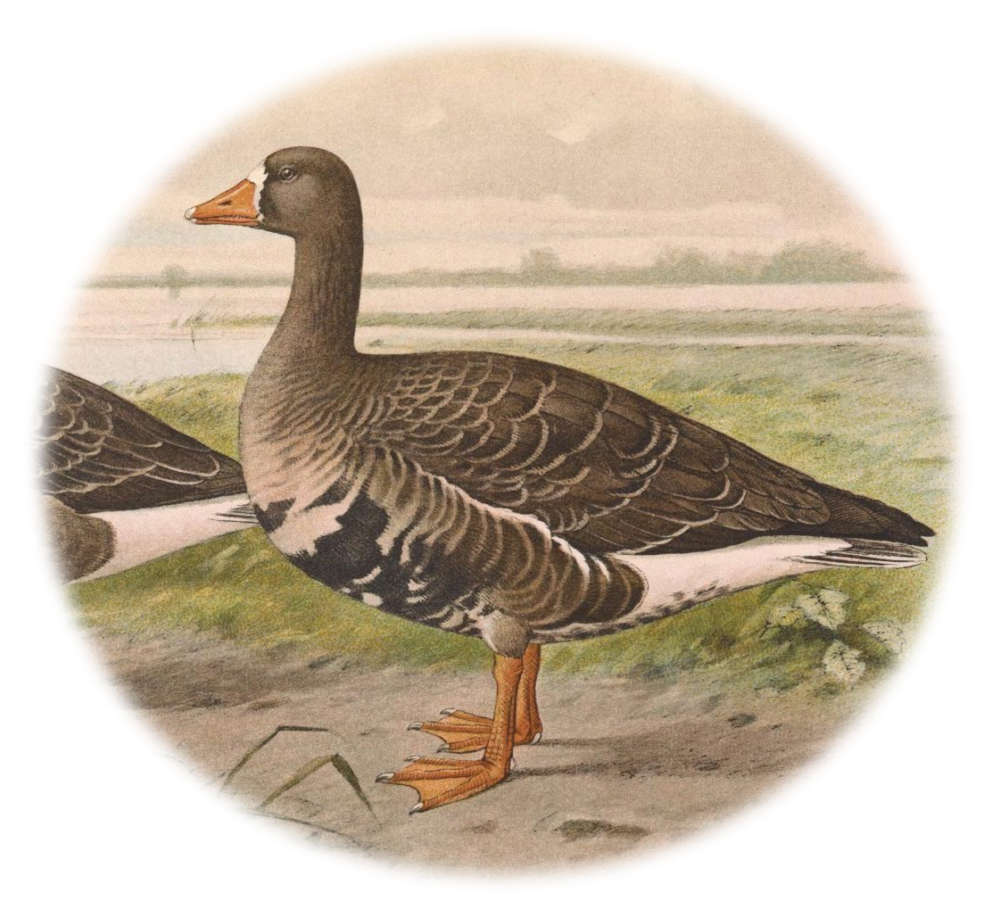 Greater White-fronted Goose illustration adapted from public domain image from Wikimedia Commons