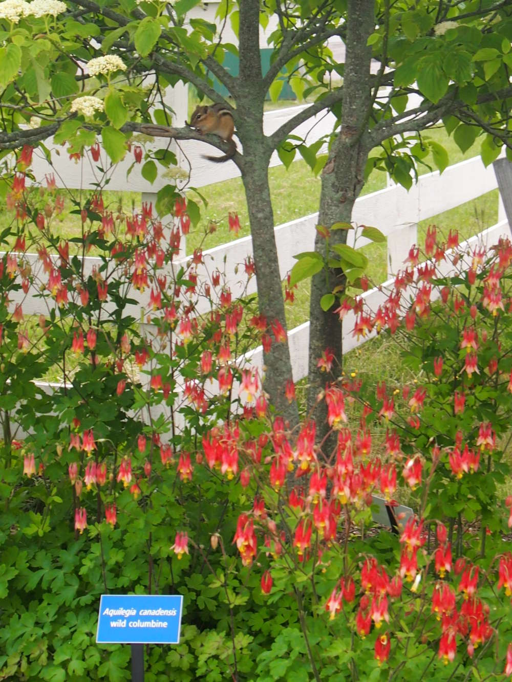 An eastern chipmunk sits above a stand of red columbine.