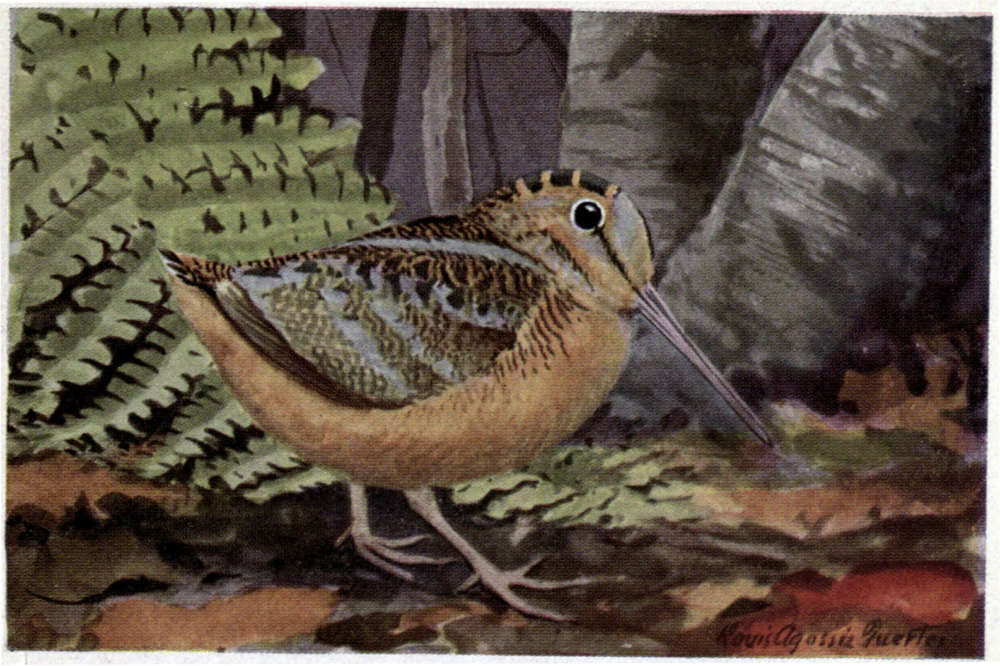 American Woodcock painting by Louis Agassiz Fuertes.