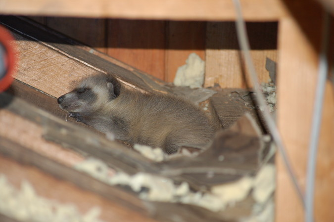 Abandoned baby raccoon in the farmhouse attic.