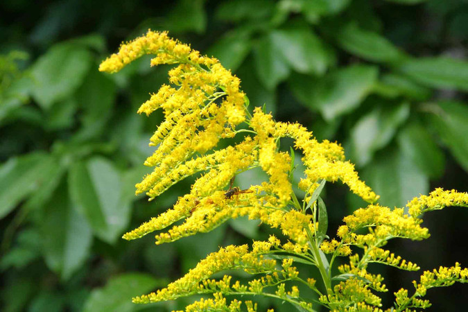 Goldenrod flowers. Photo by Ginger Laurits.
