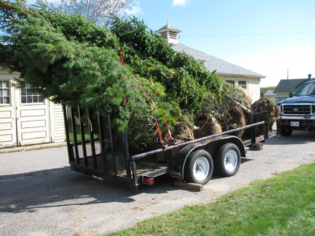 Balled trees on the trailer they arrived on