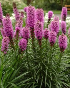 Liatris blossoming in the native plant garden