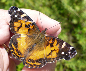 Painted Lady in the hand