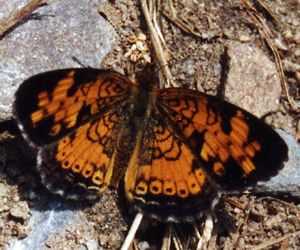 Pearl Crescent on the ground