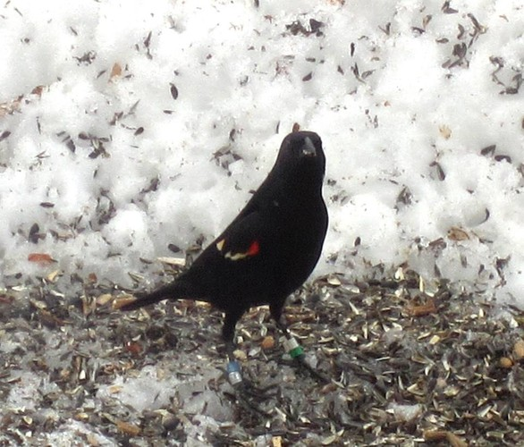 Color-banded Red-winged Blackbird photographed by Bonnie Thomas in Kennebunk.