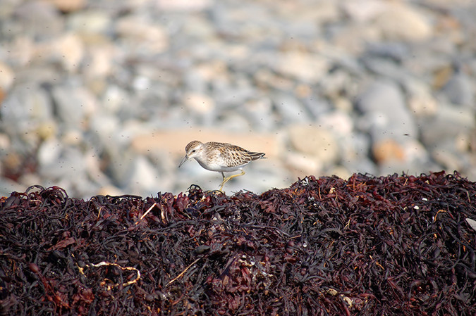 A least sandpiper explores the wrack on Laudholm Beach, surrounded by small flies.