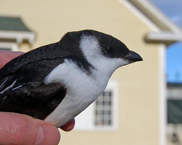 Dead dovekie in the hand, held in front of Laudholm barn, January 11, 2016