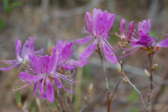 Rhodora in bloom at the edge of the mossy bog.