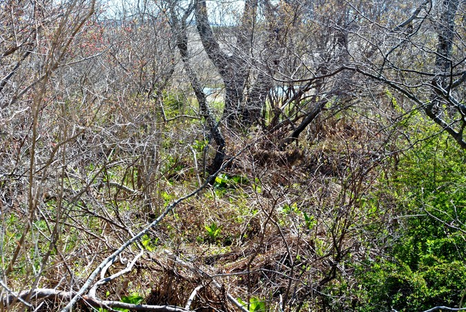 Woodland tangle. Can you pick out the coyote?
