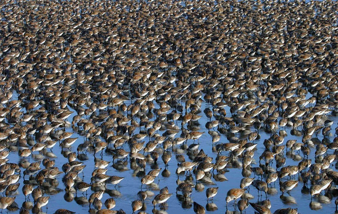 Western Sandpipers and Dunlins in Oregon. Photo by David B. Ledig and in the public domain.