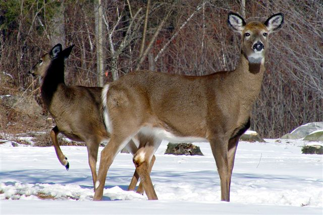 Two White-tailed Deer in snow. Photo by Frank Wolfe.