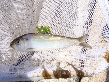River Herring caught and released in the Mousam River estuary