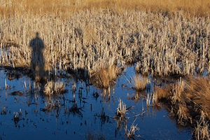 A human shadow stretches over the salt marsh.