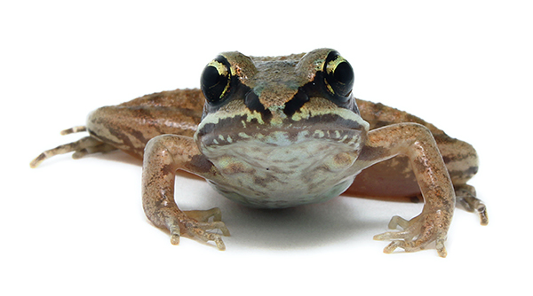 Wood Frog photo. [shutterstock]
