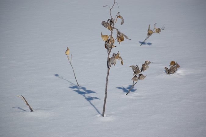Dead plants reaching above the snow surface