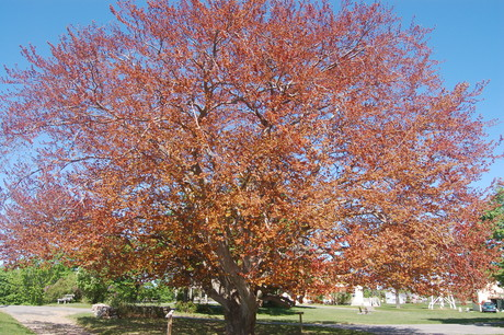 Copper Beech on May 7, 2010